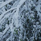 Snow on branches by jesslla
