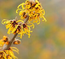Winter's Flowers - Witch Hazel by Marilyn Cornwell