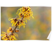 Winter's Flowers - Witch Hazel Poster