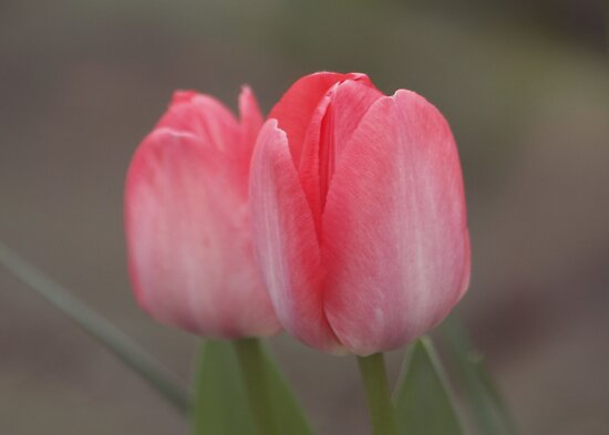 Tulip Double by AnnDixon