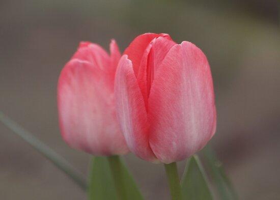 Tulip Double by AnnDixon