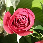 Oh Sweet Red Rose by Trish Nicholas