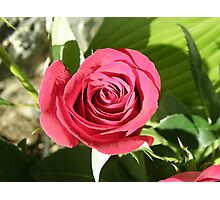 Oh Sweet Red Rose Photographic Print