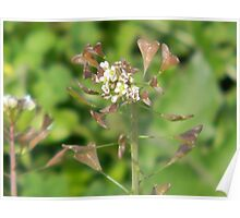 Seed Pods Emerging from Flowers - Shepherd's Purse Poster