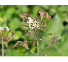 Seed Pods Emerging from Flowers - Shepherd's Purse Photographic Print