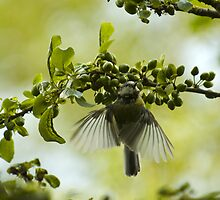 Hovering Blue Tit by Crispel