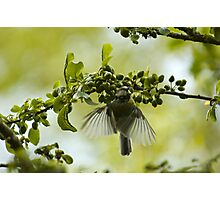 Hovering Blue Tit Photographic Print