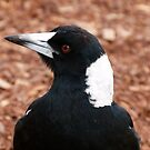 Australian Magpie Portrait by Trish Meyer
