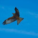 Red Kite Hunting  (Milvus milvus) by Crispel