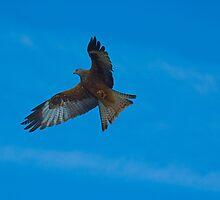 Red Kite Hunting  (Milvus milvus) by Crispel