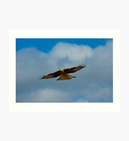 Red Kite Sensing (Milvus milvus) Art Print