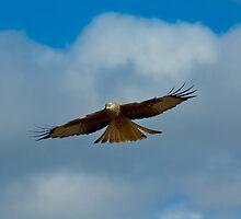 Red Kite Sensing (Milvus milvus) by Crispel