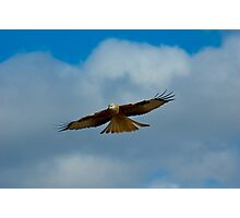 Red Kite Sensing (Milvus milvus) Photographic Print