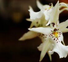 White orchid by Sarah Calvin