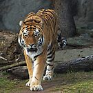 To Paw~ sending out the big cats by cherylc1