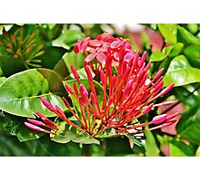 Red Buds Photographic Print