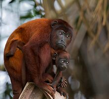 Red Howler Monkeys at Lake Sandoval, Peru by parischris
