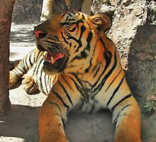 """Wat Pha Luang Ta Bua - the """"Tiger Temple"""" by Geoffrey Higges"""