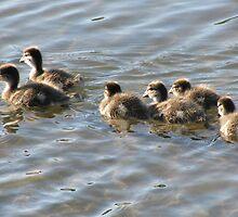 Ducklings by Geoffrey Higges