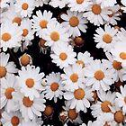 Daisies by infiniti