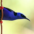 Red-legged Honeycreeper by jimmy hoffman