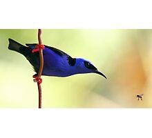 Red-legged Honeycreeper Photographic Print