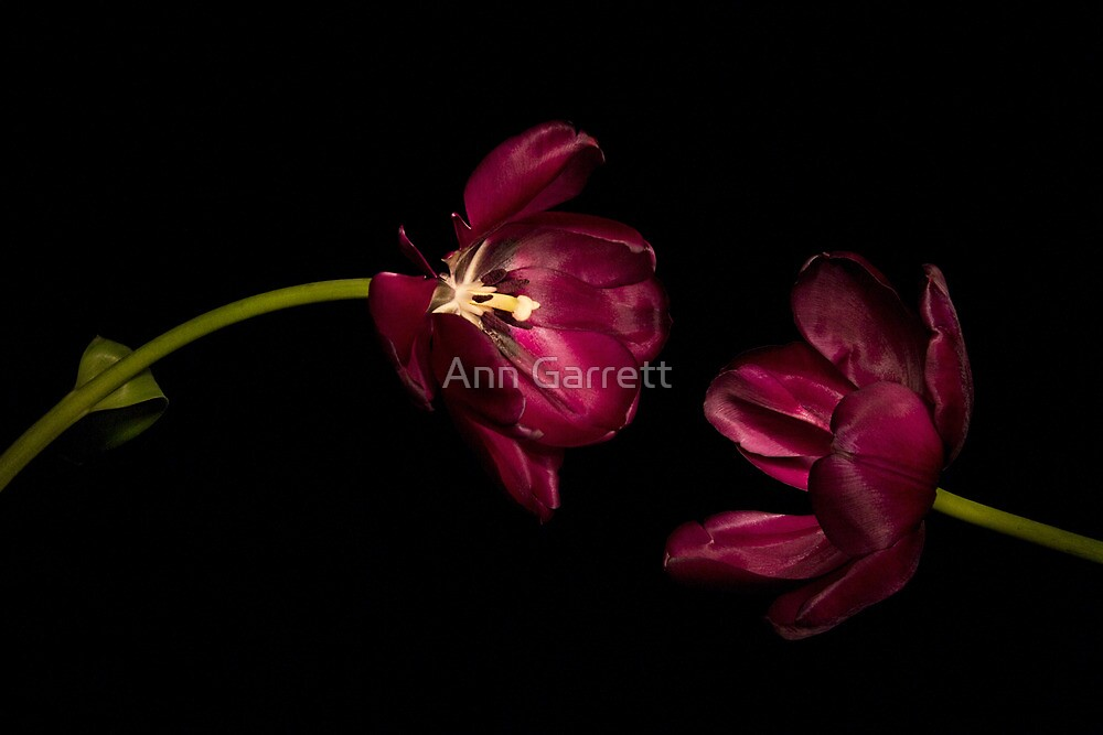 One Tulip to Another by Ann Garrett