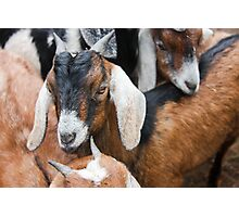 Goat Kids Photographic Print