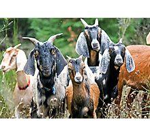 Anglo-Nubian Goats Photographic Print