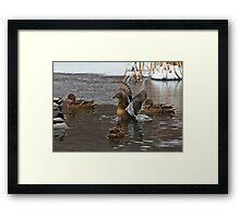 Mallards (Anas platyrhynchos) Framed Print