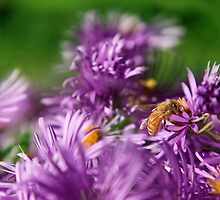 Bee on Aster by Geoff Puryear
