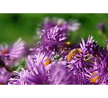 Bee on Aster Photographic Print