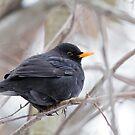 Blackbird (Turdus merula) by Vasil Popov