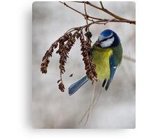 Blue tit - 2 (Parus caeruleus)  Canvas Print