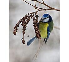 Blue tit - 2 (Parus caeruleus)  Photographic Print