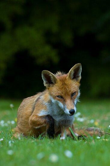 Unsure fox in Urban Garden by Crispel