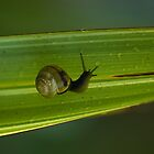 Snail on Leaf by Crispel