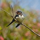 Adult Swallow on Bramble by Crispel
