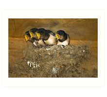 Four Swallow Chicks at Feeding Time Art Print