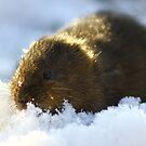 water vole in the snow by Brett Watson Stand By Me  Ethiopia