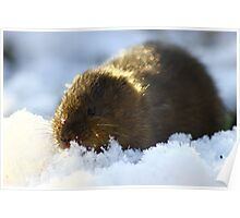 water vole in the snow Poster