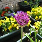 Beauty Unfolding - Allium and Pansies  by BlueMoonRose