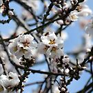 Bees Busy on the Almond Tree by afroditi katsikis