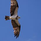 Australian Osprey by Graham Mewburn