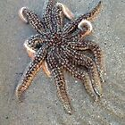 Starfish by Kellselby