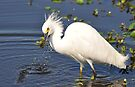 Snowy Egret with small fish just caught by Savannah Gibbs