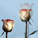 Roses by Aase