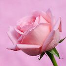 Pink Rose by Aase