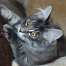 Playful Maine Coon Kitten by elainejhillson