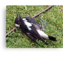 Juvenile Magpie! Canvas Print